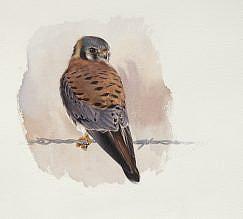 American Kestrel (Falco sparverius) painting