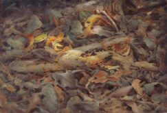 Chotacabras Pardo (Caprimulgus ruficollis)