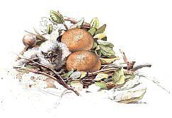 Huevos y pollo. Aguila imperial ibérica (Aquila adalberti)