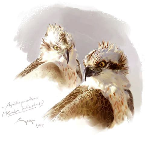 (Pandion haliaetus)