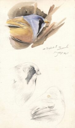 Watercolor of a Bearded Tit or bearded reedling