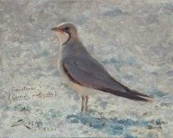 Collared Pratincole painting