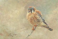 (Falco sparverius)