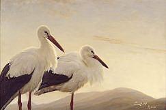 White Stork (Ciconia ciconia) picture