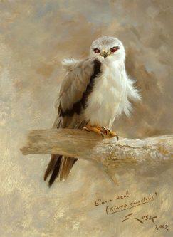 Kite (Elanus caeruleus) picture