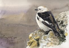 Snow Bunting (Plectrophenax nivalis) picture