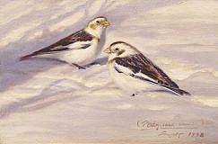 Painting of Snow Bunting (Plectrophenax nivalis)