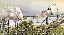 (Platalea leucorodia). Doñana