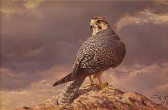 Lanner Falcon (Falco cherrug) oil painting