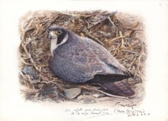 Peregrine falcon painting incubating