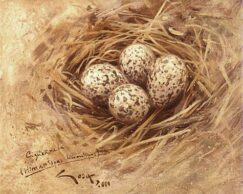 Black-winged Stilt (Himantopus himantopus) eggs