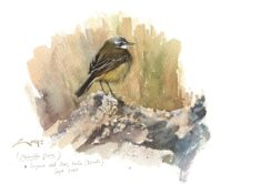 Grey Wagtail (Motacilla flava) watercolor