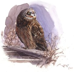 Short eared Owl watercolour