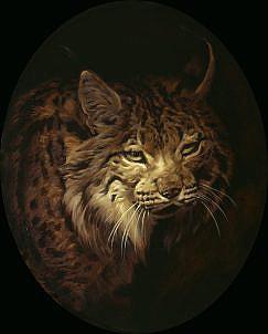 Cuadro de Lince ibérico ( Lynx pardina ). Cuadros de linces