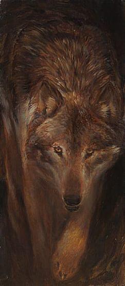 Lobo iberico ( Canis lupus signatus )