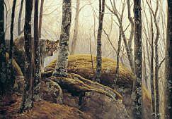 Cuadros de lobos. Lobo iberico ( Canis lupus signatus ) en el bosque
