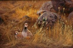 Two Red-legged partridges