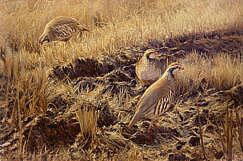 Red-legged partridge partridge painting