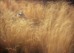Painting of a Red-legged partridge in grass