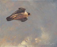 Halcon peregrino (falco peregrinus)