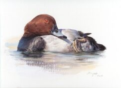 Common Pochard painting